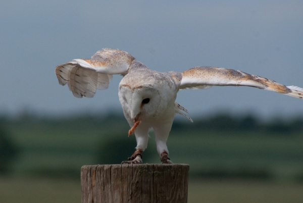 Barn Owl by grinningsoul2011