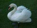 Ruffled Swan