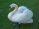 Ruffled Swan 2