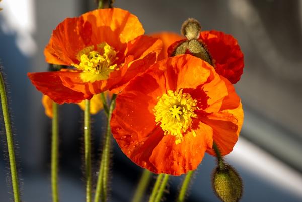Poppy 8 2012