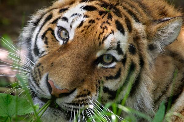Soppy eyed tiger by rjlaker