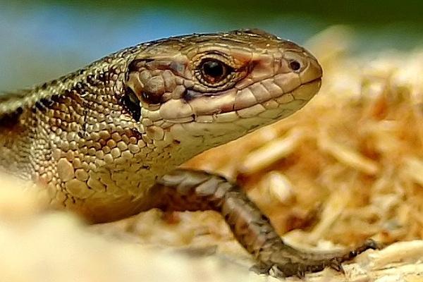 Common Lizard by nazimundo