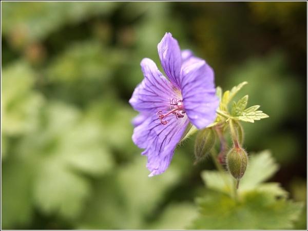 Purple Flower by danieltrude