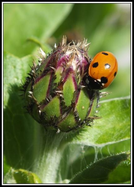 ladybird by margarett