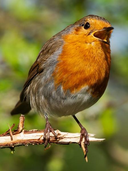 Robin by TT999