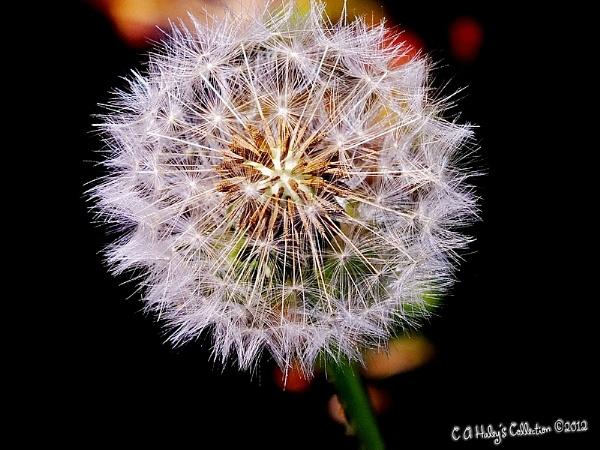 Dandelion Clock by Humblebee