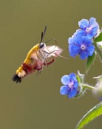Bee Hawkmoth