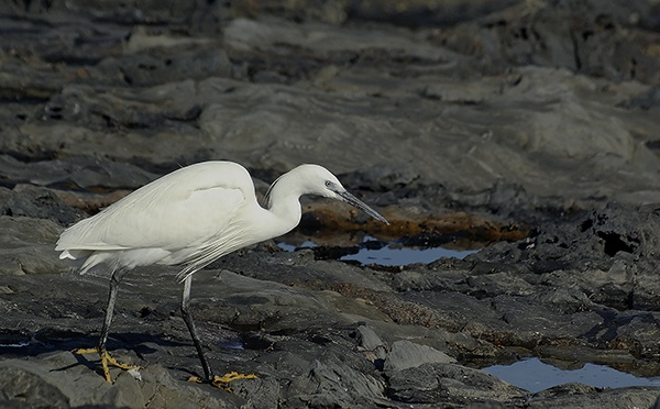Egret on the prowl by Stuarty