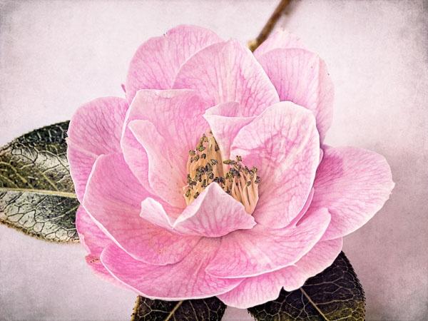 Lone Camellia by JenniCh