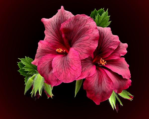 Regal Pelargonium Duo by pamelajean