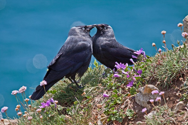 Pair of jackdaws with grass for nest by frenchie44