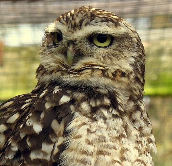 owl by CHIPPYX1X