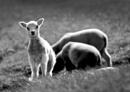 Lamb in Spring Lighting