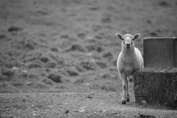 Lamb by StephenBrighton