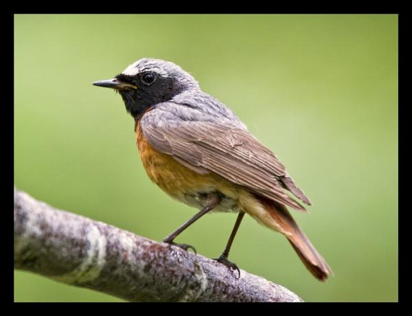 Redstart (male). by JCRAWFORD