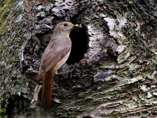 Redstart (Female) by JCRAWFORD