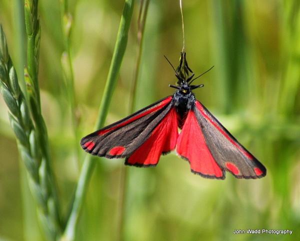 Cinnabar Moth by johnlwadd