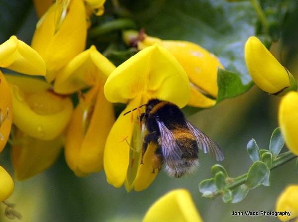 Bee by johnlwadd