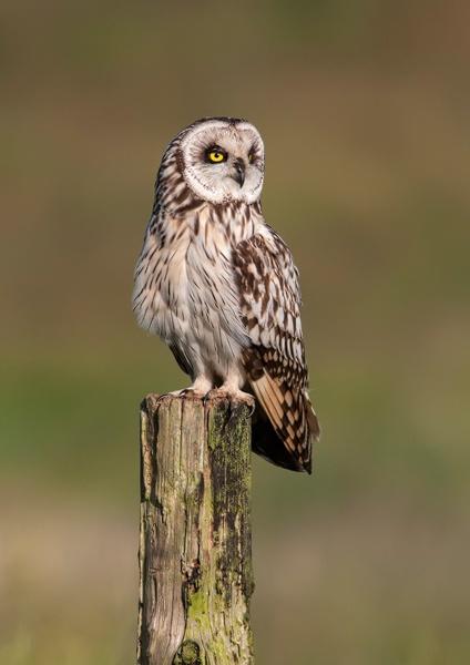 Short Eared Owl by Dreameruk