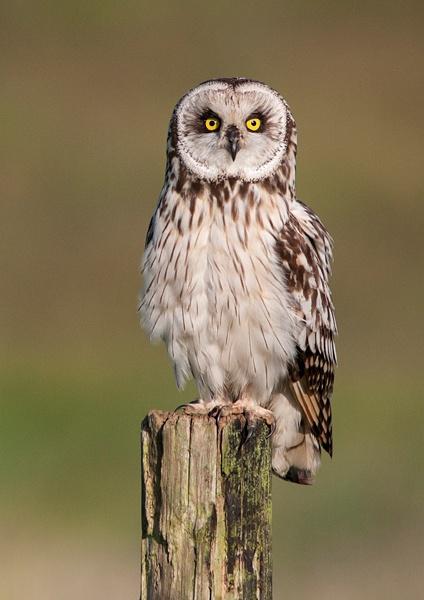 Owl Stare by Dreameruk