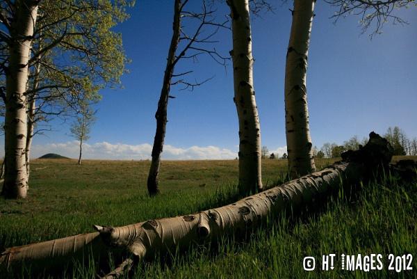 Fallen Aspen Tree by Harlan