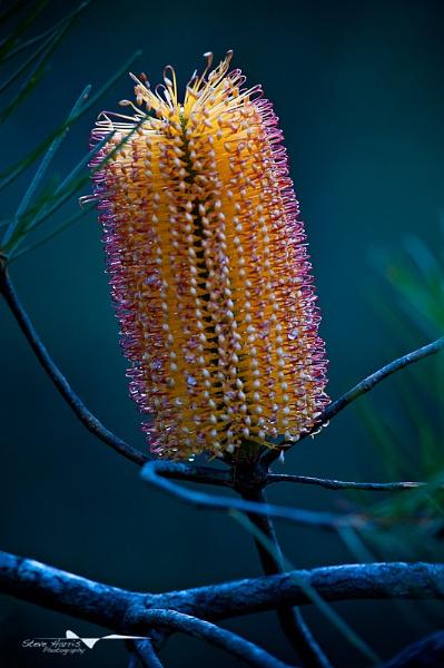 Banksia by SteveHarry