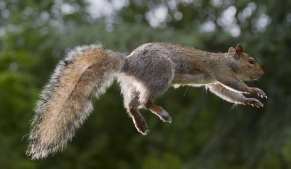Flying Squirrel by GrahamDixon