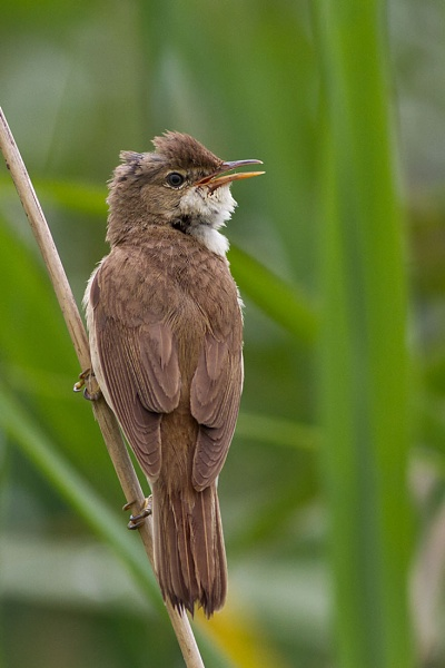 Reed Warbler by Brian65