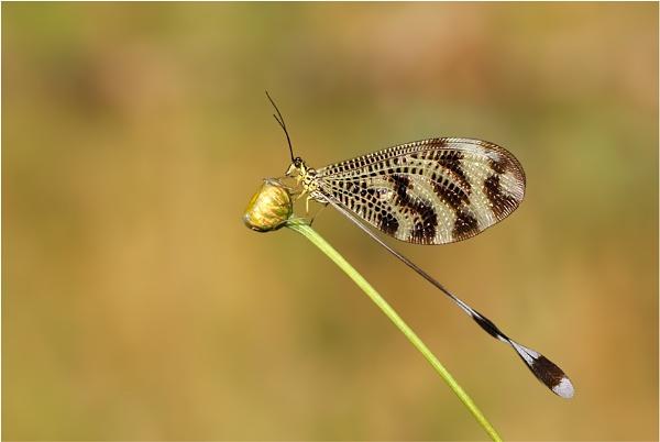 Nemoptera bipennis by NigelKiteley