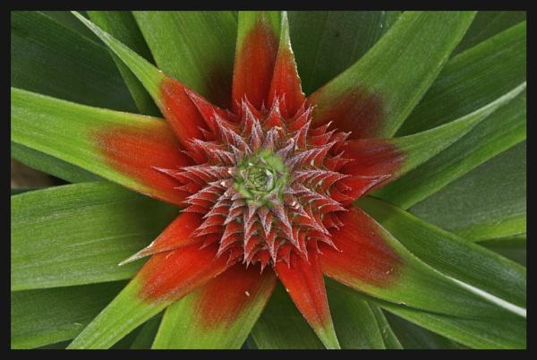 Azorian Pineapple Flower by Roadracoon