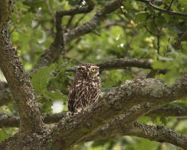 Little Owl (Athene noctua) by Gio