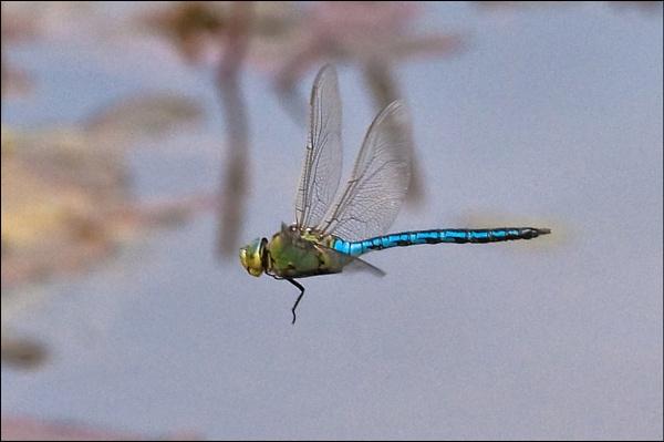 Emperor Dragonfly In Flight by johncob