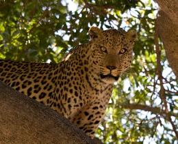 leopard - savuti