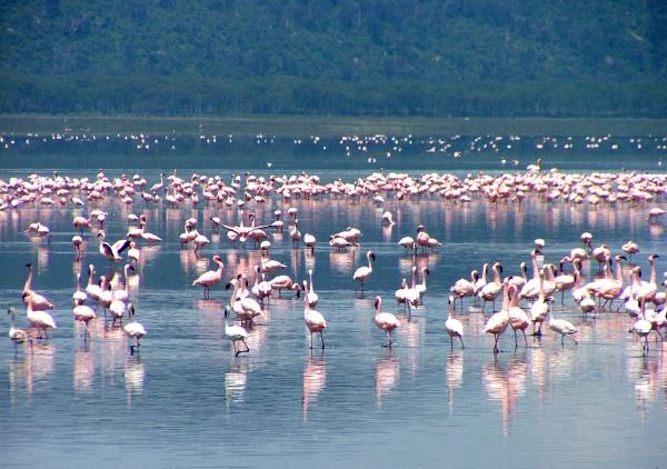 Flamingoes in Kenya by JuBarney