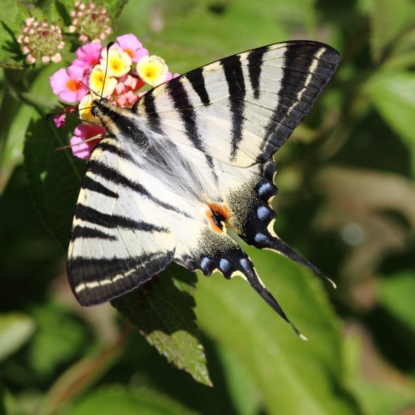 Scarce Swallowtail by PaulB45