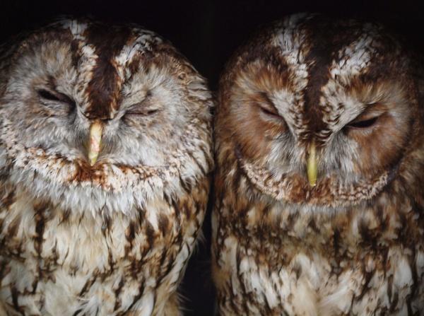 2 owls by emmaK22