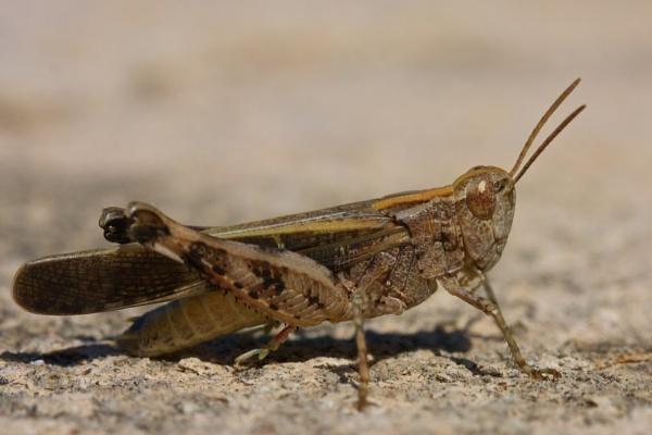 Cretan Grasshopper by robberridge