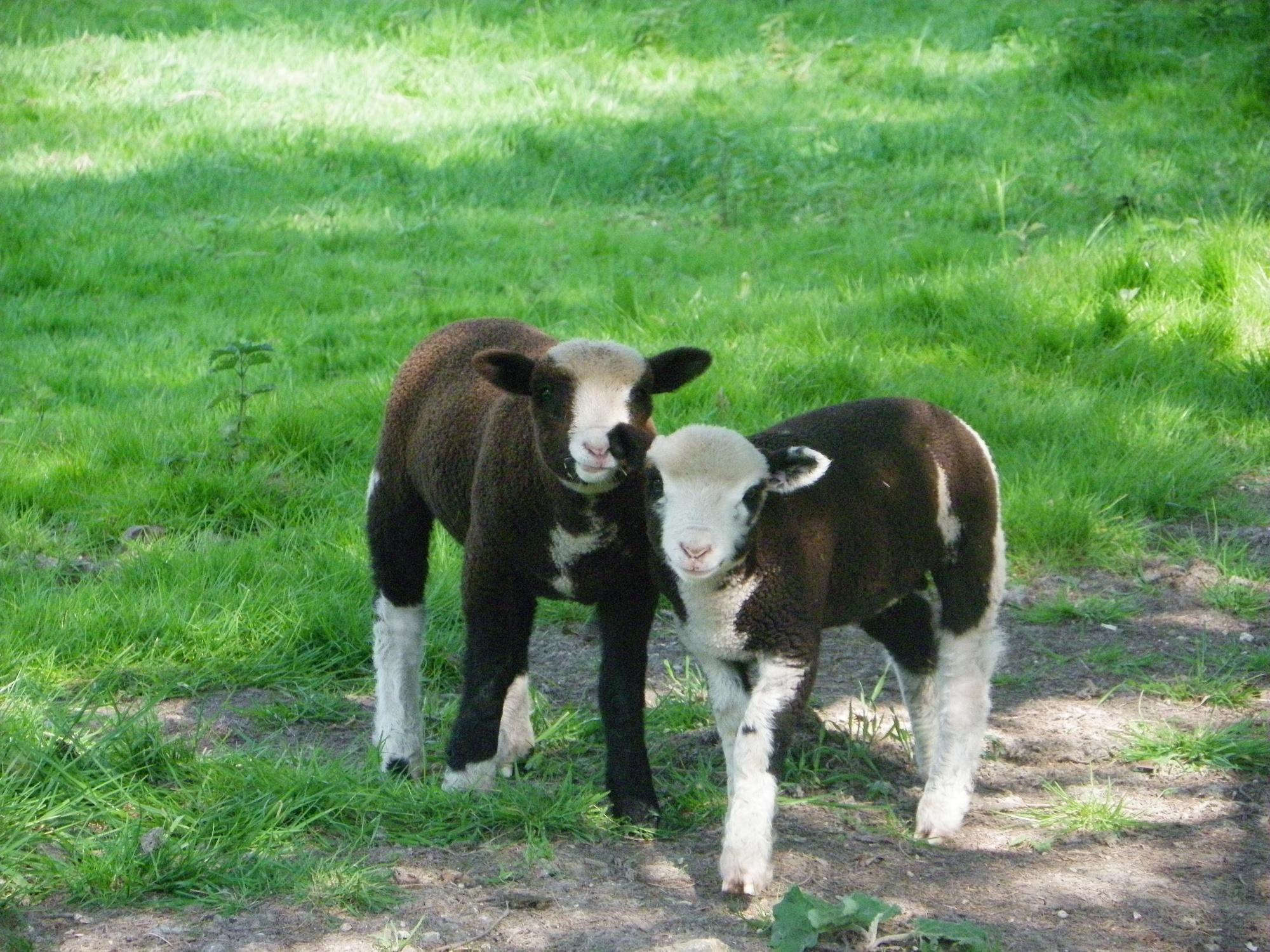 2 baby lambs