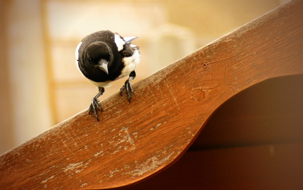 baby magpie by christinecilia