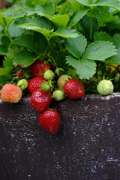 Strawberry by DerekColeman