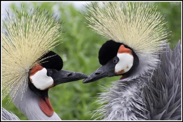 Crane  Kiss