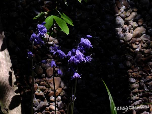 Hidden Bluebell Beauty by Humblebee