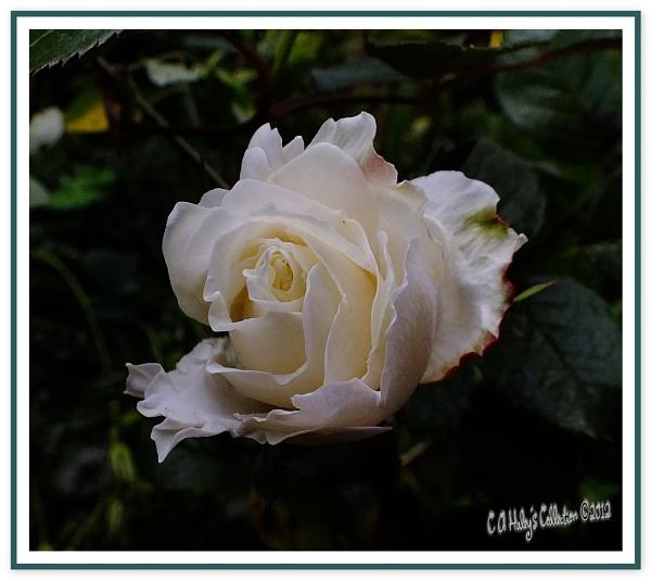 Princess Diana Rose by Humblebee