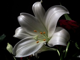 A Lily just for me