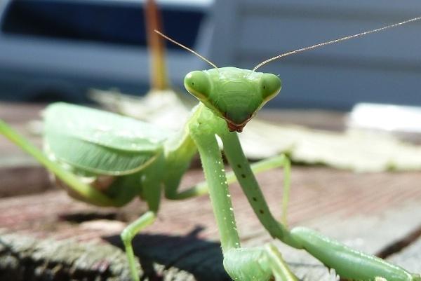 mantis - so photogenic! by Bakermanz