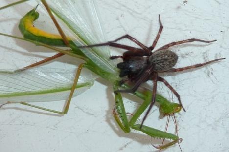 spider v mantis - spider wins by Bakermanz