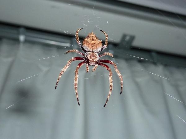 NZ vagrant spider by Bakermanz