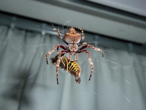 spider v wasp - spider wins by Bakermanz