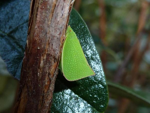 leaf bug by Bakermanz