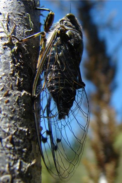 cicada by Bakermanz